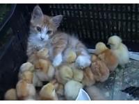 20隻小雞把小貓當媽媽 圍在牠身邊撒嬌