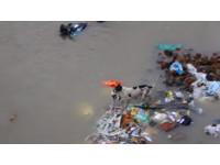 瘦弱母狗在洪水中叼著孩子 一隻隻送到安全的岸上