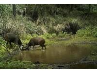 一道冰河!台灣水鹿分2大類群 遊中橫有機會遇見牠們