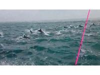 台中外海捕魚「偶遇」百隻海豚 排隊躍出海面超壯觀!