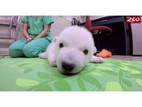 太萌!北極熊寶寶爬瑜珈墊放風 眼睛眨呀眨就睡著了