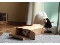 「紙箱貓」附身?小貓咪咪瘋狂鑽進窄紙箱