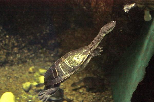 印尼罗地岛的蛇颈龟1994年才被发现,如今因为走私濒危.