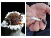 「蝙蝠保母」志工培訓課 學照顧技巧並製作蝙蝠屋