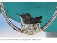 不可思議選房標準… 小鳥竟然在「公共電話線上」築巢