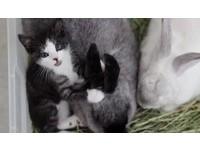 從小由兔子父母帶大 貓咪忘了自己的「真實身分」