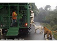 獅子老虎爬上觀光車討食 遊客餵「活雞」大叫:好刺激