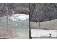 大野狼也被球球征服!看它從小山坡滾下再衝去撿