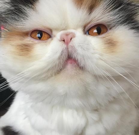 常见的颜色有白色,虎斑,蓝色和褐色;有些白色波斯猫在北美也被称作