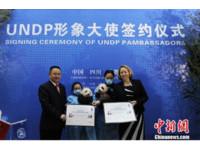 聯合國也「萌萌的」! 熊貓雙胞胎成開發計劃署大使