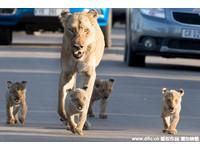 母獅帶小孩霸氣逛馬路 司機停車讓道半小時…沒人生氣