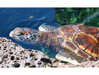 誤捕放生反而會害死海龜?海生館:牠可能暈眩或受傷了