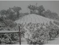 柑橘園蒙上厚厚一層雪 網:雪很美,但農民的心在淌血