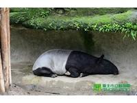動物對抗「霸王級」寒流 馬來貘有秘密基地暖到融化