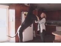 大丹狗站立210CM快撞天花板 挑戰金氏紀錄「最高狗」