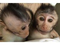 紐時:中國科學家培育出基改猴子 協助治療自閉症