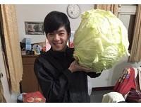 原來澎湖的高麗菜都這麼霸氣! 網友驚:這怎麼種的阿