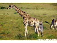 DNA新發現!雖然長很像 但長頸鹿分4種「不能交配」
