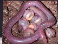 「惡魔的生物」在印度現蹤 外表像滿嘴毒牙的蛇頭