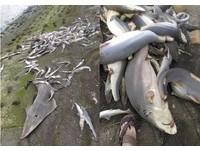 新竹舊港橋驚見大批幼鯊被割鰭 網友怒轟:拒吃魚翅!