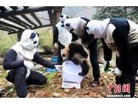 貓熊寶寶「野放訓練營」 飼養員穿貓熊裝防牠們太親人