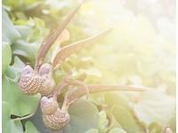 食藥署預告修正農藥殘留容許量 曇花「會入菜」首納標