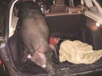 最特別的年終獎金!陸汽車行老闆送「一頭豬」犒賞員工