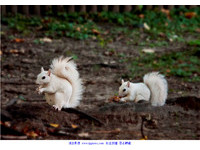 動物趣聞/一次巧遇三隻白松鼠 比中樂透還難