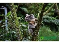 動物園無尾熊單身漢「搬新家」 進駐澳洲動物區賣萌