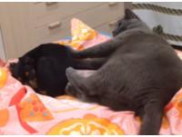 撒嬌狗狗想跟貓老大睡 窩在旁邊就被無影腳踹