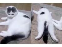 胖貓化成「爛泥」趴著不動 一被主人捏屁屁就掙扎爬走