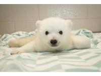 超療癒必看!美國小北極熊「諾拉」吐舌翻肚融化所有人