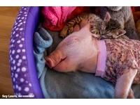 孤兒小貓和粉紅豬變好朋友 一起調皮搗蛋長大