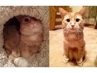 地板很髒腳腳不能碰到... 橘貓神坐姿其實是發育不全