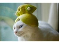 創意柚子帽!貓咪陳明珠變陳綺貞、後宮甄喵傳