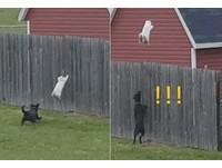 腎上腺素爆炸!胖貓被黑狗狂追 牠直接翻牆飛走