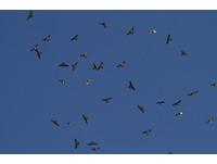 上萬國慶鳥盤旋!灰面鵟鷹過境滿州 20日前賞鷹好時機