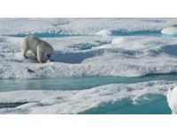憾!北極熊「餓殺」幼熊吞下肚 暖化難覓食又傳悲歌