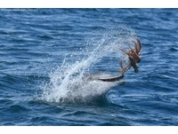 澳洲海面驚見「飛天章魚」 原來是頑皮海豚在作怪啦!