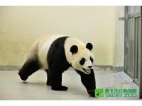 大貓熊圓圓進入繁殖期 團團不定期「翹班」拚「做熊」