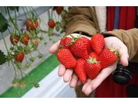 手掌大草莓30分鐘無限吃到飽只要500元 客人連吃100顆