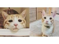 心臟病仍努力撒嬌的貓咪「小麥」 告別29萬粉絲當天使了