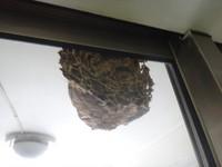 以為是鳥巢? 虎頭蜂3年都「住」12樓陽台!