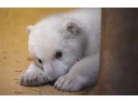 「克努特」接班人 德動物園北極熊寶寶可愛亮相