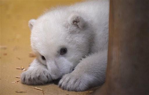 「克努特」接班人德动物园北极熊章鱼可爱亮相宝宝天v图片