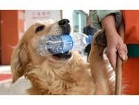 黃金獵犬每天陪主人上街掃垃圾 最愛叼寶特瓶換獎賞