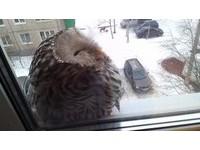 打開窗簾驚見胖胖貓頭鷹側躺小眠 網:快請牠進屋喝茶