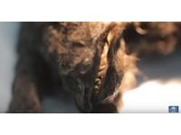 冰封萬年後出土 南韓複製學家採樣擬復活「圖馬特犬」