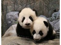 多倫多動物園「可愛警報」! 貓熊龍鳳胎帶頭賣萌