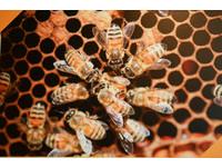 「蜂膠」可殺病毒、預防感冒 但這4種人不能吃